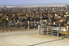 Cattle feed lots Royalty Free Stock Image