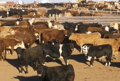 Cattle in feed lots, CO Stock Photography