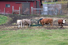Cattle at a Feeder Royalty Free Stock Images