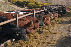Cattle Feeding Stock Images