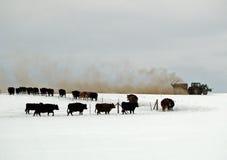 cattle feeding Στοκ Φωτογραφίες