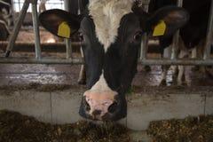Cattle feeding in a barn Stock Photos