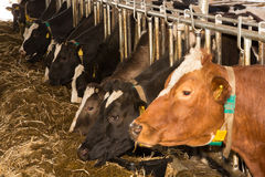 Cattle feeding in a barn Stock Photos