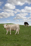 Cattle feeding on the green grass Stock Photo
