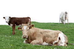 Cattle feeding on the lush green grass Stock Photos
