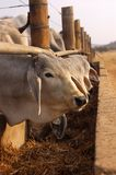 Cattle at a feeding pen Royalty Free Stock Images