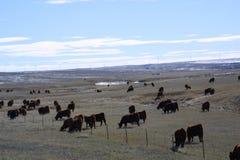 Cattle Feeding 2018 stock photo