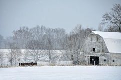 Cattle feeding in the snow Stock Photography