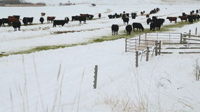 Cattle Feeding in Winter, Nicola Valley stock video footage