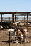 Cattle feedlot Royalty Free Stock Images