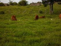 Cattle Feeds and Rest In Green Pasture stock image