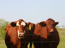 Cattle at Fence. Two beef cows at barbwire fence, pasture in background, flies on faces Stock Image