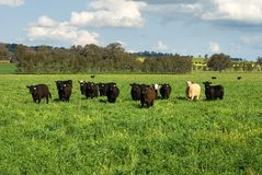 Cattle in a Field Royalty Free Stock Photos