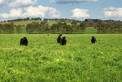 Cattle in a Field Stock Image