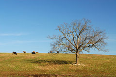 Cattle In Field. With Lone Tree Stock Image