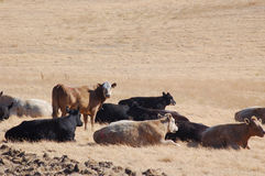 Cattle in a Field. Some cattle in a field in late summer Royalty Free Stock Photography