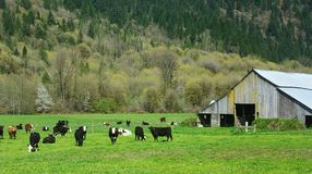 Cattle in a Field. Cattle grazing in a field with a barn in view Royalty Free Stock Photography