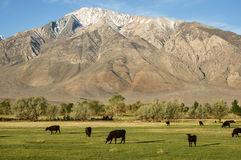 Cattle In Field Below Mountain Stock Images