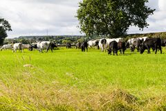 Cattle in Field. Cattle grazing in a field. Looking at the cattle from the behind, green grass oak trree blue sky white fluffy clouds Royalty Free Stock Images