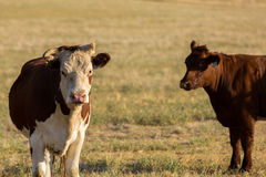 Cattle in field Royalty Free Stock Photos
