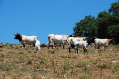 Cattle in field, Andalusia, Spain. Stock Photos