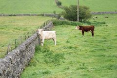 Cattle in a field protected by dry stone walls Royalty Free Stock Photography