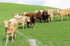 Cattle in field in rural New Zealand. Gathered in circle inquisitivly looking over fence stock images