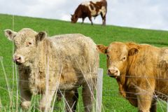 Cattle in field in rural New Zealand. Inquisitive looking over fence stock photography