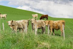 Cattle in field in rural New Zealand. Inquisitive looking over fence royalty free stock photography