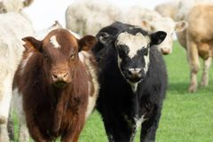 Cattle in field in rural New Zealand. Inquisitive looking over fence stock photo
