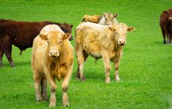 Cattle in field in rural New Zealand. Inquisitive looking over fence royalty free stock photos