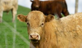 Cattle in field in rural New Zealand. Inquisitive looking over fence stock image