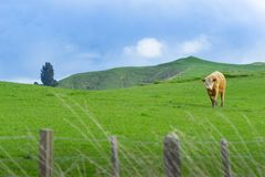 Cattle in field in rural New Zealand. Inquisitive looking over fence royalty free stock images