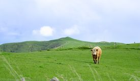 Cattle in field in rural New Zealand. Inquisitive looking over fence royalty free stock image