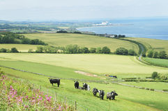 Cattle in field with view east coast Berwickshire. Panorama of east coast Berwickshire, Scotland, towards Torness Power station with cattle in field and North stock images