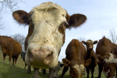 Cattle in a field (wide angle) 01 Stock Photography