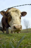 Cattle in a field (wide angle) 02. Cattle graze in a farm field in the midwest stock images