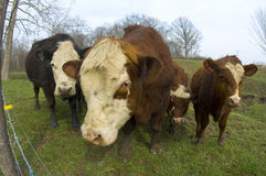 Cattle in a field (wide angle) 04 Royalty Free Stock Photography