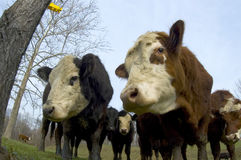 Cattle in a field (wide angle) 05. Cattle graze in a farm field in the midwest royalty free stock images