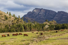 Cattle Fields Mountains Royalty Free Stock Photography