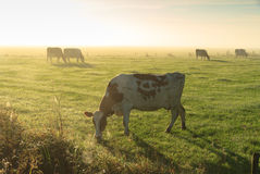Cattle in the fog Royalty Free Stock Image