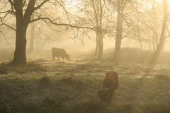 Cattle in the fog Stock Images