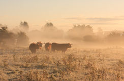 Cattle in the fog royalty free stock images