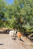 cattle in the forest stock image