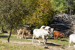 cattle in the forest royalty free stock photos