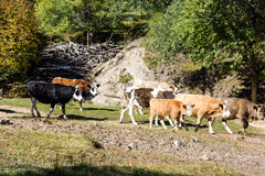 cattle in the forest Stock Images