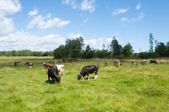 Cattle on fresh green summer meadow Royalty Free Stock Photography