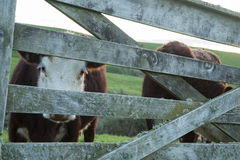 Cattle through gate. Royalty Free Stock Photo