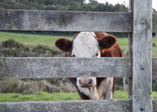 Cattle through gate. Royalty Free Stock Photos
