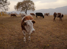 Cattle on grass Royalty Free Stock Image